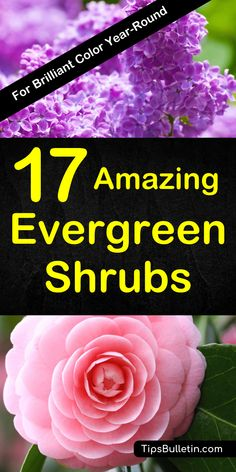 17 fast-growing evergreen shrubs that bloom all year long. Overview of a variety of small and dwarf shrubs used for privacy, in front of your house or for landscaping. Thes flowering plants do well in shade as well as full sun. Perfect for low maintenance.