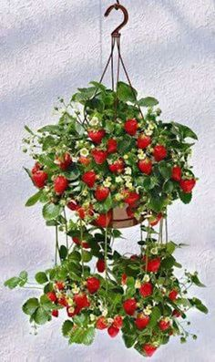 Fruitridge Gardens and Tupil Company will have these soon! I plant strawberry garden in planter every year.