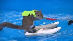 Waterskiing squirrel teaching safety at boat show #snow