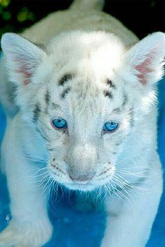 Beautiful white tiger cub