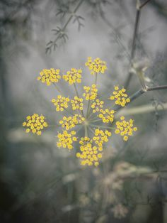 venkel / fennel / foeniculum vulgare copyright Tjerk Spannenburg 2014