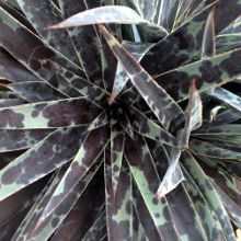 Sun Perennials for sale,Best perennials,Full Sun Perennials