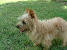 Norwich Terrier pictures...