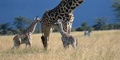 see baby giraffes in South Africa