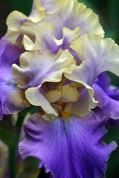 Stunning Purple and Yellow Iris