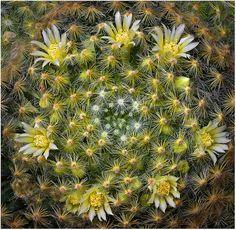Mammillaria schiedana