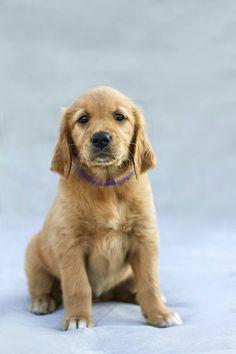 Golden Retriever Puppies are sooooo cute Golden Retriever Cartoon, Dogs Golden Retriever, Retriever Puppies, Golden Retrievers, Online Pet Supplies, Dog Supplies, Golden Retriever Training, Choosing A Dog, Puppy Names