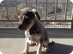 Hurricane, UT - Chihuahua/Terrier (Unknown Type, Small) Mix. Meet Logan, a puppy for adoption. http://www.adoptapet.com/pet/15176713-hurricane-utah-chihuahua-mix
