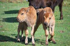 Deux jeunes bisons des bois sont nés par insémination artificielle au Zoo de Toronto