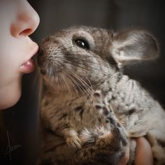 Chinchilla enjoying some kisses with their mommy.