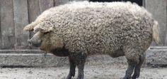 pig-dog3