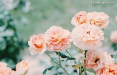 pale pink flowers photography pink outdoors nature flowers