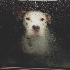 Counting raindrops while patiently waiting for his pet to return from work....