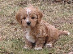 Yup, going to need to adopt a Cavapoo. Soooooo cute <3