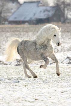 snow white miniture pony                                                                                                                                                                                 More