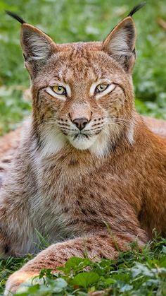 lynx, grass, big cat, carnivore, lie
