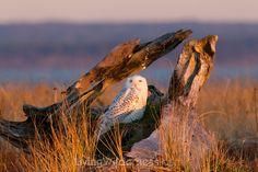 Snowy owl at the beach in Ocean Shores, Washington. Kevin Ebi