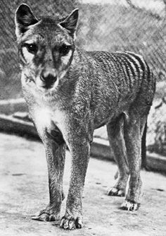 Benjamin, the last Thylacine photographed by Dr. David Fleay in it's tiny pen at the Beaumaris Zoo in Hobart, December 19th 1933