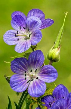 Meadow Cranesbill (geranium Pratense), great plant for many locations, long lasting flowers Geranium Pratense, Cranesbill Geranium, Wild Geranium, Perennial Geranium, Amazing Flowers, Purple Flowers, Beautiful Flowers, Flowers Nature, Wild Flowers
