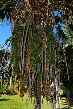 Howea forsteriana - Kentia Palm setting seed.