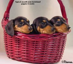 Dachshunds are like chips - you can't just have one
