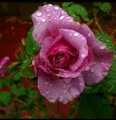 #raindropsonroses