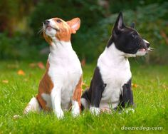 basenji puppies....They may be the first ever dog breed.  They are the dogs etched on the walls of ancient Egypt.