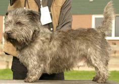 glen of imaal terrier | irish_glen_of_imaal_terrier.jpg