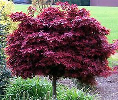 Dwarf Japenese Maple my boss has some of these and babies come up around them.  She is going to get her hubby to put me some in a pot so I can transplant them.  They are VERY expensive but sooo pretty.