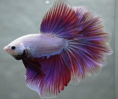 ive Tropical Fish-lavender pink white dragon rosetail halfmoon betta G1