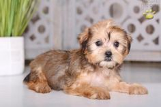 Dixie - Shorkie Puppy for Sale in Mount Vernon, OH Shorkie Puppies For Sale, Animals Dog, Mans Best Friend, Shih Tzu, Yorkie, Puppy Love, Fur Babies, Family Photos, This Is Us