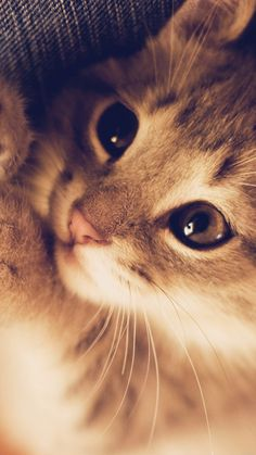 ↑↑TAP AND GET THE FREE APP! Cat Animals Nice Cute Fun For Girls HD iPhone 6 plus Wallpaper