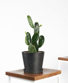 Buy Potted Prickly Pear Cactus Indoor Plant | Bloomscape Water Plants, Cactus Plants, Buy Cactus, Green Plants, Cacti, Tall Plants, Indoor Plants, Bunny Ear Cactus, Indigo