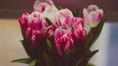 Обои тюльпаны, букет, нежность