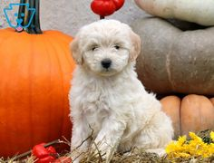 Kylie | Maltipoo Puppy For Sale | Keystone Puppies