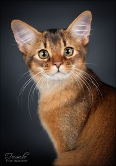 - abyssinian cat...once pets to Egyptian privileged....I would love to own one