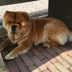 Looking for coolness under the table in the shadow #chowchow #chowlovers #instachow #instadogs #instapet #cuteanimals #cutepetclub #animalsaddicts #adorimals #fluffy #bear #shadow #dogsofinstagram #dogsofinstaworld #doglovers @dogs.lovers #mydogiscutest by chow_chow_moos