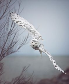 This is what I want my tattoo to have.  Snowy Owl In Flight - Photography by Carrie Ann Grippo-Pike