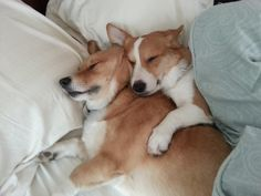 Corgi spooning -- you're doing it right...