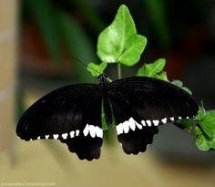 Papilio polytes - Парусник Полит, семейство парусники, родина – от Китая до Индии, бабочки этого же вида бывают с красными пятнами и хвостиками на задних крыльях