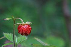 Fragaria Vesca wild strawberry  Prints: https://goo.gl/bVEaJZ Downloads: https://goo.gl/O0ztOj Info: https://www.foto-wandern.com/galerie/wald-erdbeere/  #harz #outdoors #hiking #fotokurs #fotokurse #fotowandern