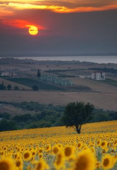 Sunflowers in Tuscany, Italy: