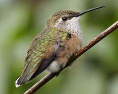 Rufous Hummingbird, female/immature ~ photo © Laure W. Neish, VIREO