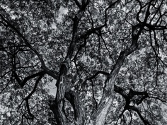 Black and White Old Tree wallpaper