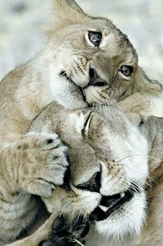 lion love #animals, #pets, #cute, #funny