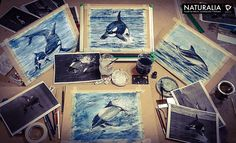Orcas, Delfin Austral y Tonina Overa para la segunda expo de Naturalia en el  marco del Curso Patagonico, Puerto Deseado 2014. Acuarela, Lápiz Policromos y tinta china.