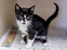 ELTON JOHN - ID#A461769 - Harris County Animal Shelter in Houston, Texas - 5 MONTH OLD Neutered Male Domestic Shorthair - at the shelter since Jun 16, 2016.