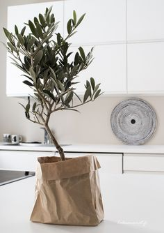 Olive tree in paper bag Cactus Plante, Interior And Exterior, Interior Design, Style Deco, Scandinavian Living, Olive Tree, Green Plants, Indoor Plants, Potted Plants