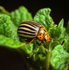 7 Plants To Help Control Potato Bugs: {Companion Planting}  I have a new motto now: When in doubt, plant Marigolds!