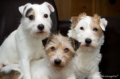 parson russel terriers